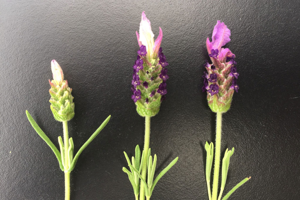 Lavandula Lamorosia™ | Emotion